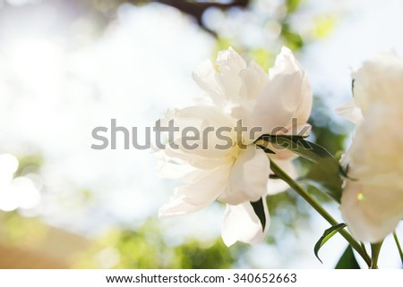 White peony on a background of the summer garden