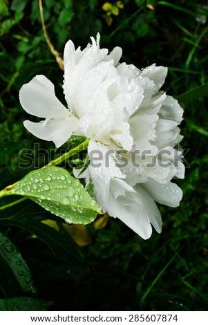 white peony with dew - stock photo