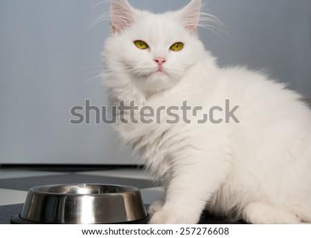 White persian cat eating - stock photo