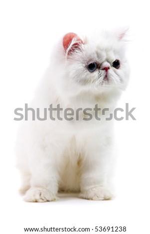 white persian cat isolated on white background - stock photo