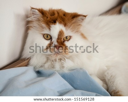 white persian cat lying in bed  - stock photo