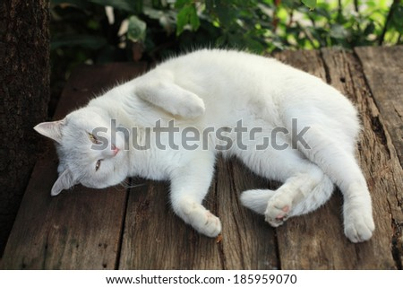 White Persian cat lying on a wooden table and staring at camera. - stock photo