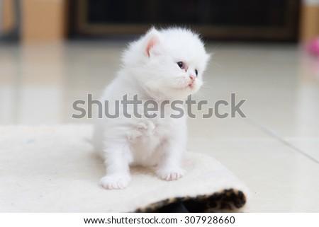 White persian kitten - stock photo