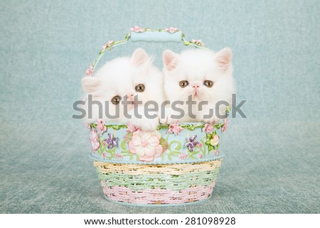 White Persian kitten and Exotic kitten sitting inside small round blue and pink basket decorated with tiny silk flowers on mint green background  - stock photo