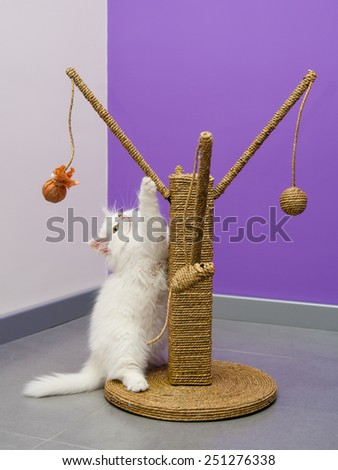 White persian kitten playing with the scratching climber tree - stock photo