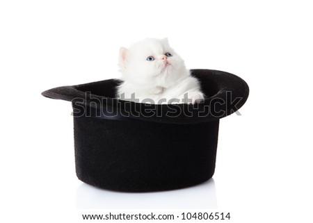 White persian kitten  sitting in hat.  little kitten on white background. persian kitten - stock photo