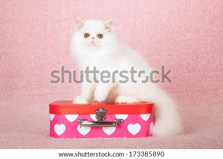 White Persian kitten sitting on top of pink small toy suitcase box against pink background - stock photo