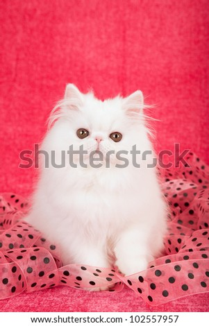 White Persian kitten with black polka dot pink ribbon on cerise pink background