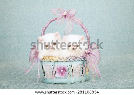 White Persian kittens sitting inside blue and lavender basket decorated with ribbon and bows on mint green background