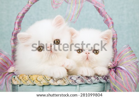 White Persian kittens sitting inside blue and lilac basket decorated with ribbons and bows on mint green background