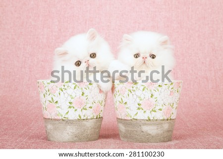 White Persian kittens sitting inside pots decorated with rose patterns on pink background  - stock photo