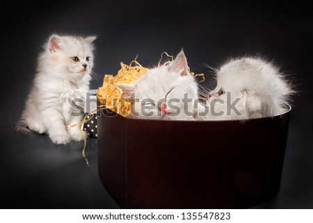White Persian pussy cats in gift container