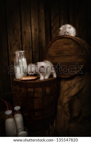 White Persian pussy cats with milk on wooden  background - stock photo