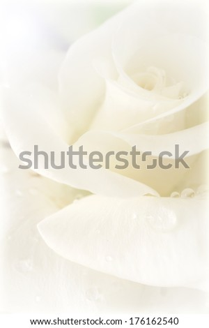 white petal rose soft background