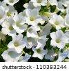 White petunias blooming close-up - stock photo