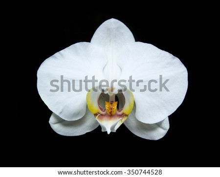 white phalaenopsis against black background.