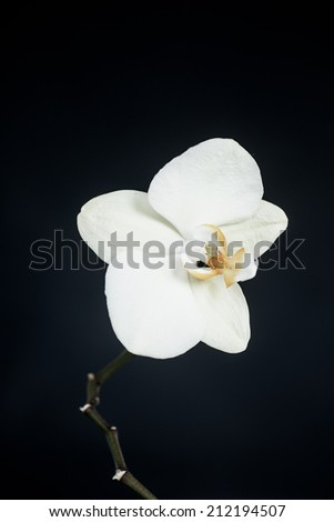 white phalaenopsis orchid on a black background