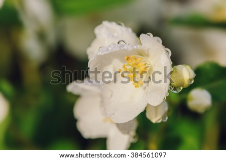 white Philadelphus coronarius flowers close up with water drops in summer