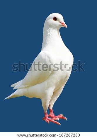 White pigeon isolated on blue background - imperial-pigeon - ducula  - stock photo
