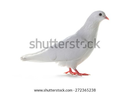 white pigeon on a white background - stock photo