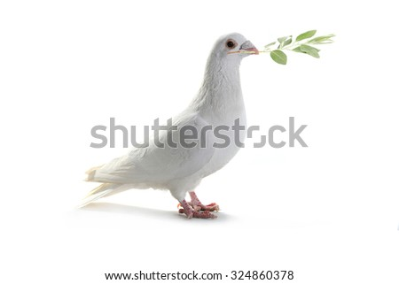 white pigeon on a white background with an olive branch - stock photo