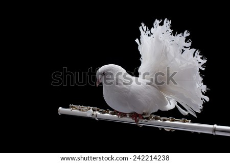 White pigeon. White pigeon on flute isolated in black background. - stock photo