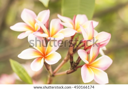 white , pink and yellow flowers. (frangipani flowers, Frangipani, Pagoda tree or Temple tree) on natural light background