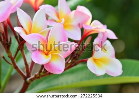 white , pink and yellow Plumeria flowers - stock photo