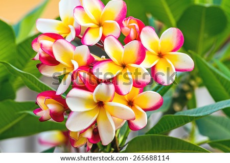 white , pink and yellow Plumeria spp. (frangipani flowers, Frangipani, Pagoda tree or Temple tree)  on natural light background - stock photo