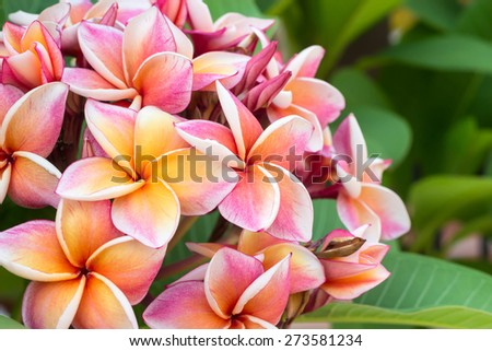 white , pink and yellow Plumeria spp. (frangipani flowers, Frangipani, Pagoda tree or Temple tree) - stock photo