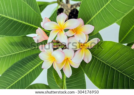 white , pink and yellow Plumeria spp. (frangipani flowers, Frangipani, Pagoda tree or Temple tree)
