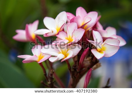 white , pink and yellow Plumeria spp. (frangipani flowers, Frangipani, Pagoda tree or Temple tree) on natural light background