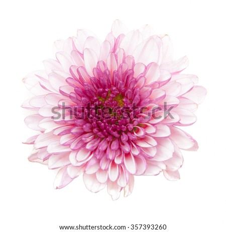 white pink chrysanthemum flowers isolated on a white background - stock photo