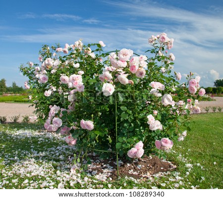White-Pink Rose bush - stock photo