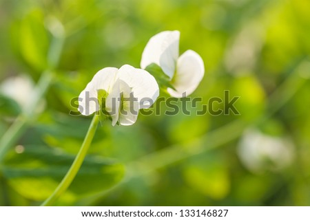 white pisum blooming in the spring