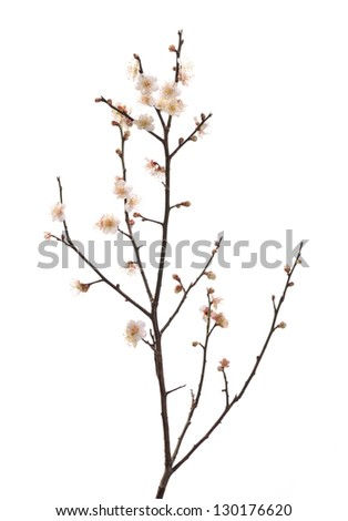 white plum bloossom - stock photo