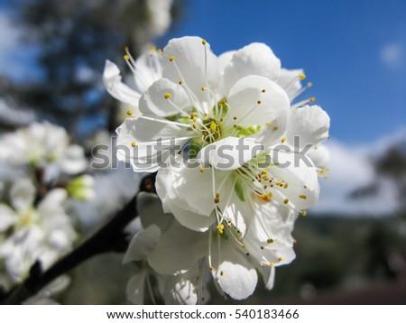 White plum blossom stock photo royalty free 540183466 shutterstock white plum blossom mightylinksfo