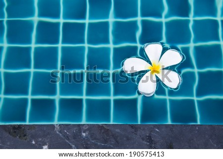 White plumeria floating in a swimming pool of a Thai resort