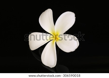 White Plumeria flower isolated on black background - stock photo