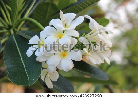 White Plumeria flower on tree in garden. - stock photo