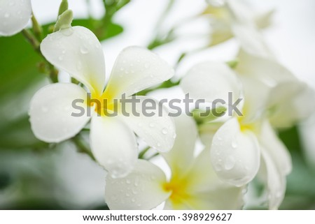 White plumeria flower with rain drops