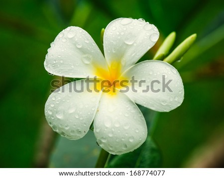 White plumeria flower with water drops on petals