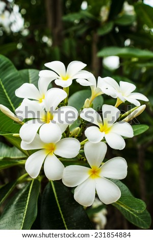 White plumeria flowers - stock photo