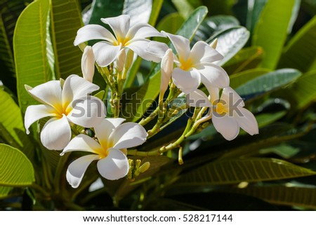 White Plumeria flowers blooming or leelawadee are fragrance with the sky bright atmosphere and the outdoor nature after rain, spa flower.