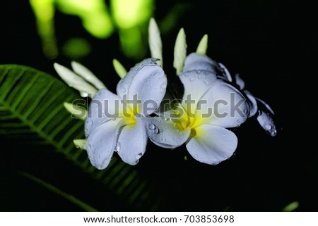 white plumeria in the dark