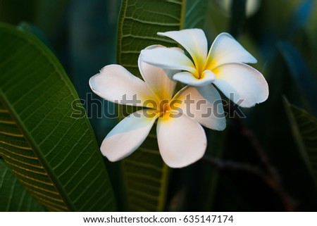 white plumeria in the garden