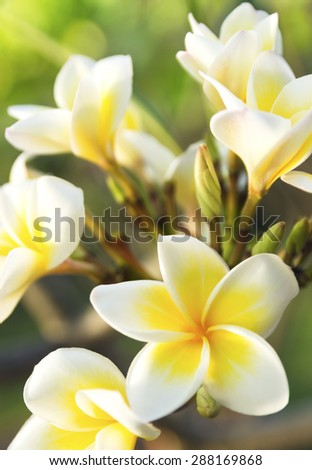 white Plumeria or Frangipani flowers on the natural tree branches. beautiful, fresh petals - stock photo