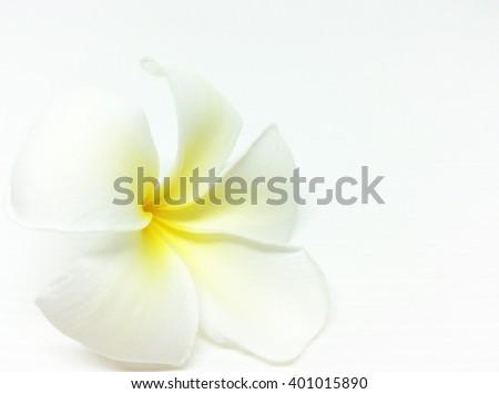 White plumeria rubra flower isolated on White background - stock photo
