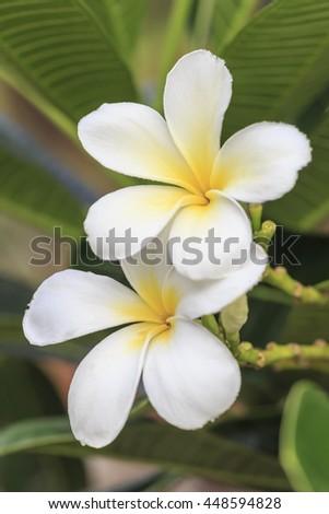 White plumeria tropical flowers on tree - stock photo
