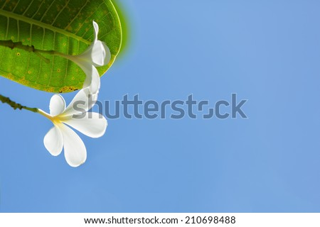 White Plumeria with blue sky